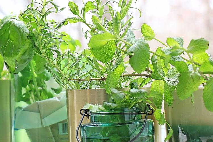 growing herbs in a window