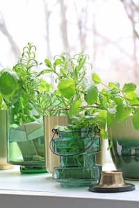 growing herbs in a window